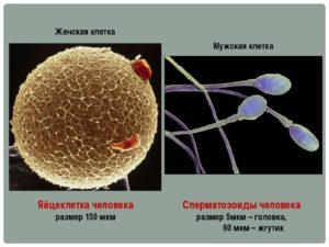 Размер яйцеклетки женщины
