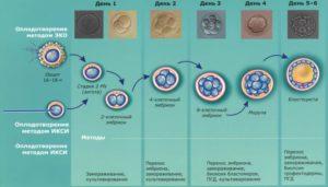 Развитие эмбриона при эко по дням
