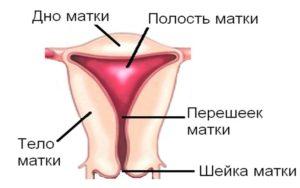 Перешеек матки