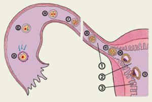 Когда эмбрион прикрепляется к матке после зачатия