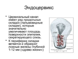 Что такое эндоцервикс в гинекологии