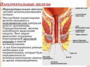 Парауретральная железа у женщин