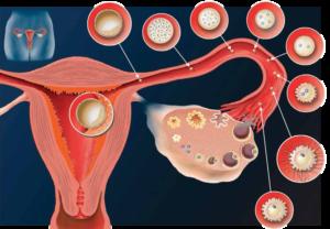 Как прикрепляется эмбрион к матке