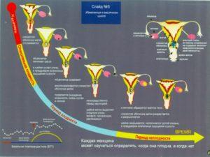 Шейка матки по дням цикла