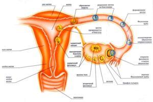 Где находится яйцеклетка у женщин