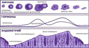 Как увеличить толщину эндометрия