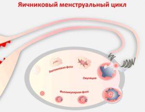 Фазы яичникового цикла