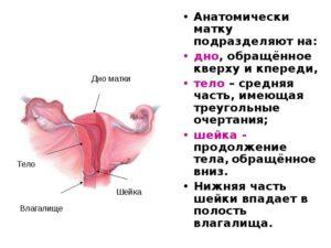 Физиология женской матки