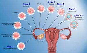 В течение какого времени происходит зачатие