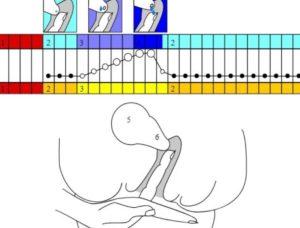 Шейка матки при овуляции