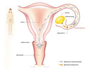 Количество яйцеклеток у женщины
