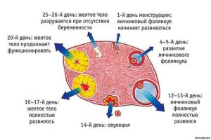 Размер желтого тела перед месячными