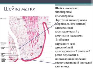 Что такое цилиндрический эпителий шейки матки